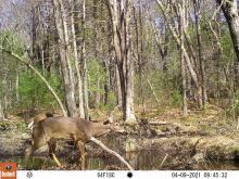 White-tailed deer at SVT's General Federation of Women's Clubs of Massachusetts Memorial Forest in Sudbury, photographed with an automatically triggered wildlife camera by Craig Smith.