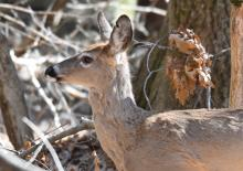 A white-tailed deer at Assabet River National Wildlife Refuge, photographed by Gail Sartori.