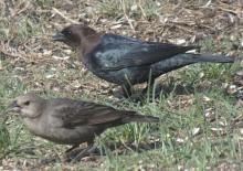 Brown-headed cowbirds in Sudbury, photographed by Sharon Tentarelli.