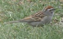 A chipping sparrow in Sudbury, photographed by Sharon Tentarelli.