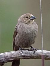 A brown-headed cowbird in Framingham, photographed by Joan Chasan.