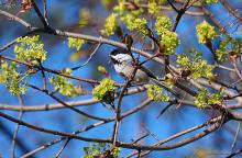 A black-capped chickadee in Northborough, photographed by Sandy Howard.