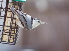 A white-breasted nuthatch in Northborough, photographed by Sandy Howard.