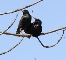 European starlings at Breakneck Hill Conservation Land in Southborough, photographed by Steve Forman.