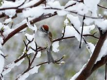 A chipping sparrow in Northborough, photographed by Sandy Howard.