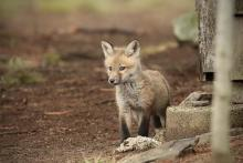 A red fox in Sudbury, photographed by Russ Place.