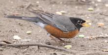 An American robin at Hager Pond in Marlborough, photographed by Steve Forman.