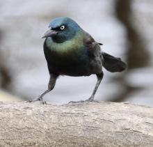 A common grackle at Hager Pond in Marlborough, photographed by Steve Forman.