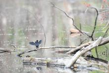 A red-winged blackbird in Framingham, photographed by Gail Sartori.