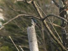 A tree swallow in Framingham, photographed by Lucian Vazquez.