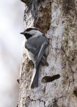 A black-capped chickadee in Westborough, photographed by Steve Forman.