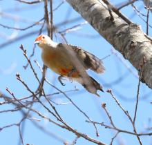 A red-bellied woodpecker in Westborough, photographed by Steve Forman.