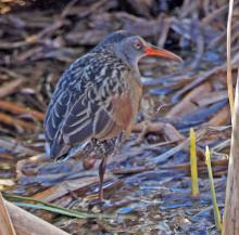 A Virginia rail in Concord, photographed by Joan Chasan.