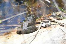 An American bullfrog at Great Meadows National Wildlife Refuge in Concord, photographed by Gail Sartori.