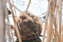 A muskrat at Great Meadows National Wildlife Refuge in Concord, photographed by Gail Sartori.