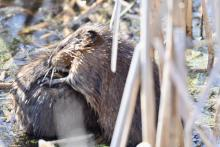 Muskrats at Great Meadows National Wildlife Refuge in Concord, photographed by Gail Sartori.