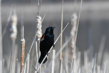 A red-winged blackbird at Great Meadows National Wildlife Refuge in Concord, photographed by Gail Sartori.