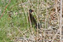 A Virginia rail at Great Meadows National Wildlife Refuge in Concord, photographed by Gail Sartori.