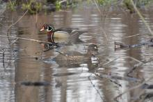 Wood ducks at Great Meadows National Wildlife Refuge in Concord, photographed by Gail Sartori.