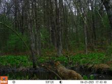A coyote at SVT's General Federation of Women's Clubs of Massachusetts Memorial Forest in Sudbury, photographed with an automatically triggered wildlife camera by Craig Smith.