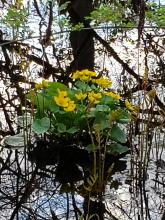 Marsh marigolds at Crane Swamp, photographed by Marge Fisher.