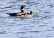A pair of wood ducks at Hager Pond in Marlborough, photographed by Steve Forman.