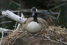 A Canada goose at Assabet River National Wildlife Refuge in Sudbury, photographed by Craig Smith.