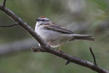 A chipping sparrow at Assabet River National Wildlife Refuge in Sudbury, photographed by Craig Smith.