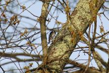 A downy woodpecker at Assabet River National Wildlife Refuge in Sudbury, photographed by Craig Smith.