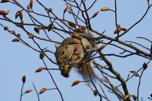 A gray squirrel at Assabet River National Wildlife Refuge in Sudbury, photographed by Craig Smith.