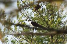 An osprey at Assabet River National Wildlife Refuge in Maynard, photographed by Craig Smith.