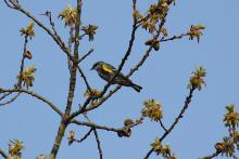 A yellow-rumped warbler at Assabet River National Wildlife Refuge in Sudbury, photographed by Craig Smith.