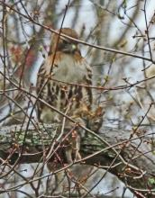 A red-tailed hawk with a cotton-tailed rabbit in Framingham, photographed by Joan Chasan.