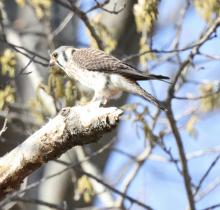 An American kestrel at Breakneck Hill Conservation Land in Southborough, photographed by Steve Forman.