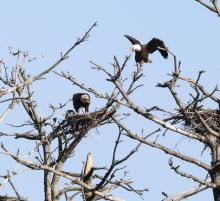 A pair of bald eagles at the Sudbury Reservoir in Southborough, photographed by Steve Forman.