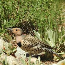A northern flicker in Natick, photographed by Chuck Hill.