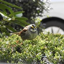 A white-throated sparrow in Natick, photographed by Chuck Hill.