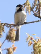 A black-capped chickadee at Hager Pond in Marlborough, photographed by Steve Forman.