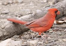 A northern cardinal at Hager Pond in Marlborough, photographed by Steve Forman.