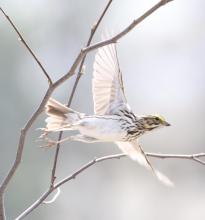 A savannah sparrow at Breakneck Hill Conservation Land in Southborough, photographed by Steve Forman.