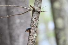 A red-breasted nuthatch at Heath Hen Meadow Brook Conservation Area in Stow, photographed by Gail Sartori.