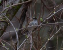 A white-throated sparrow at Assabet River National Wildlife Refuge, photographed by Jason Shields.