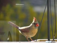 A northern cardinal in Ashland, photographed by Cindy Winer.