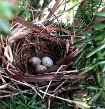 A northern cardinal nest in Southborough, photographed by Debbie Costine.