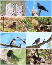 Clockwise from top left, a tree swallow, a brown-headed cowbird, a palm warbler, an eastern bluebird, a fisher, an eastern towhee, an eastern bluebird, and a chipping sparrow at SVT's Memorial Forest in Sudbury, photographed by Debbie Howell.