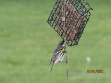 A yellow-rumped warbler in Stow.