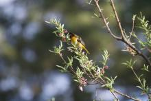 A Baltimore oriole in Maynard, photographed by Gail Sartori.
