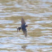 A barn swallow at Hager Pond in Marlborough, photographed by Steve Forman.
