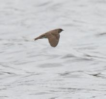 A northern rough-winged swallow at Hager Pond in Marlborough, photographed by Steve Forman.