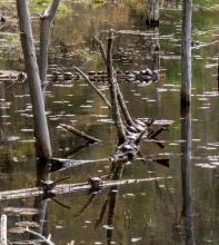 Painted turtles at Assabet River National Wildlife Refuge, photographed by Wayne Hall.